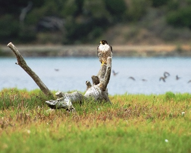 A hawk sits on a log with Bolinas Lagoon in the background