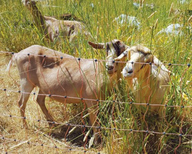 Two goats graze on grass near a fence.
