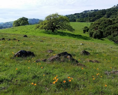 Wildflowers, trees and hills in Mount Burdell Open Space Preserve in Novato