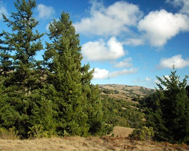 Scenic view of Roys Redwoods Open Space Preserve, with large trees in foreground and hills and sky in background