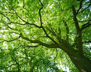 A view of a tree looking up from the ground, with branches and leaves filling the sky