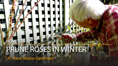 Marin Master Gardeners: How to Prune Roses in Winter